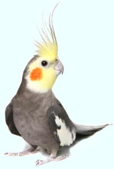 Хранене на папагалите! Cockatiel