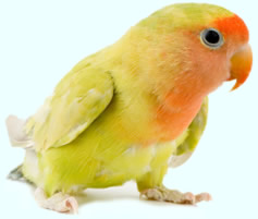Хранене на папагалите! Lovebird